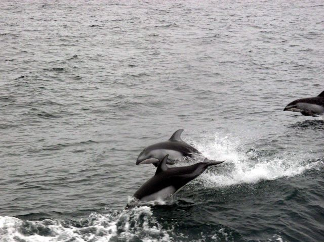 Leaping dolphins. Picture