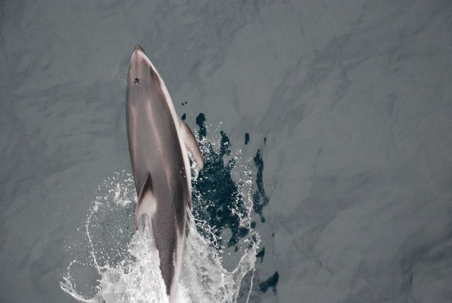 Looking down on a leaping dolphin. Picture