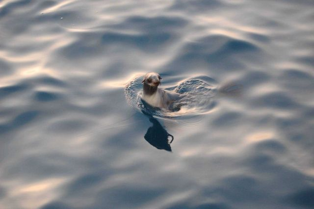Young sea lion Picture