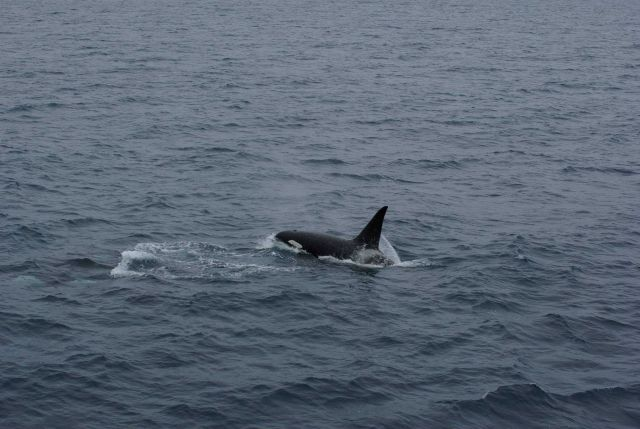 Killer whales. Picture