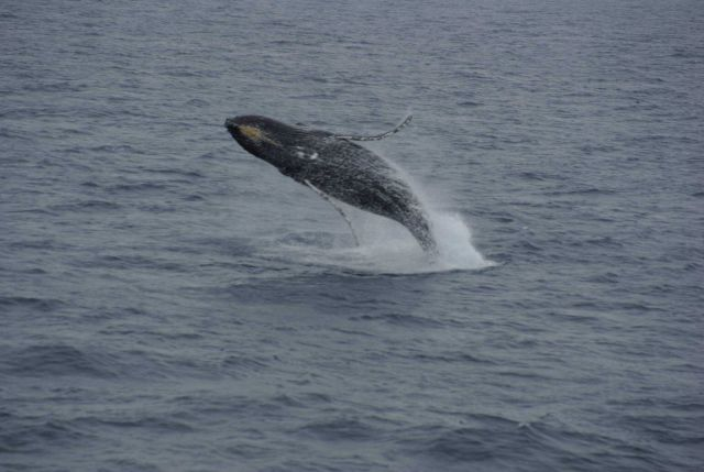 Breaching humpback whale. Picture