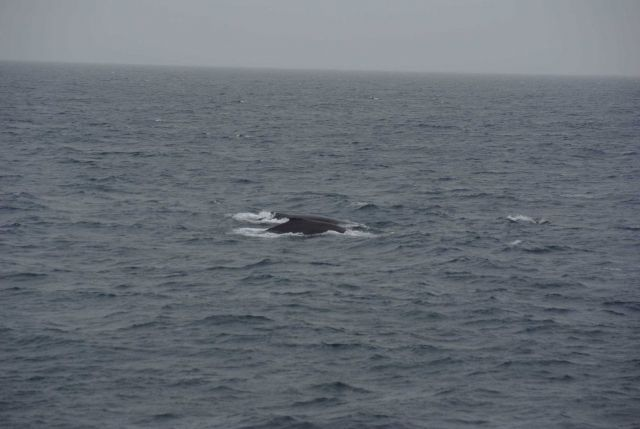 Two humpback whales. Picture