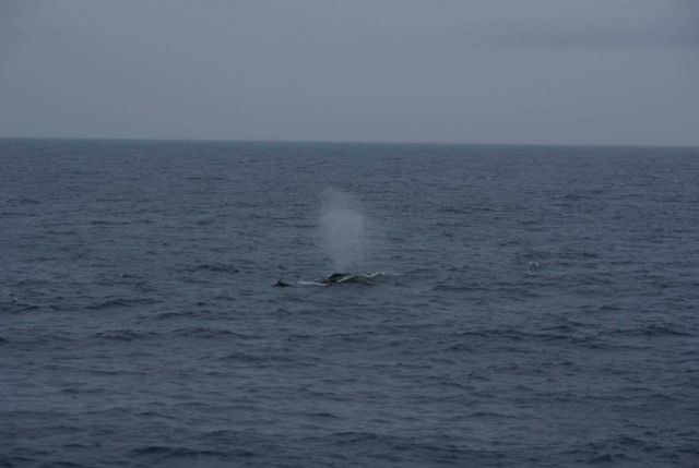 Humpback whale spouting with dolphin in close proximity. Picture