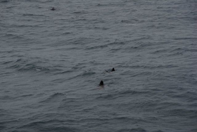 Steller sea lions at sea with dolphin in upper left corner of image. Picture