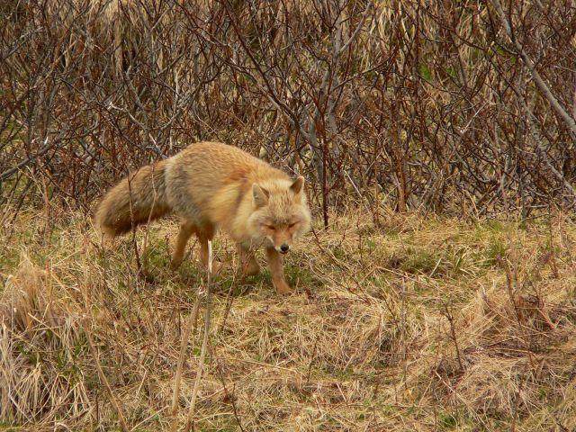 Fox. Picture