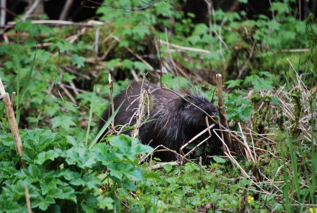 Porcupine. Picture