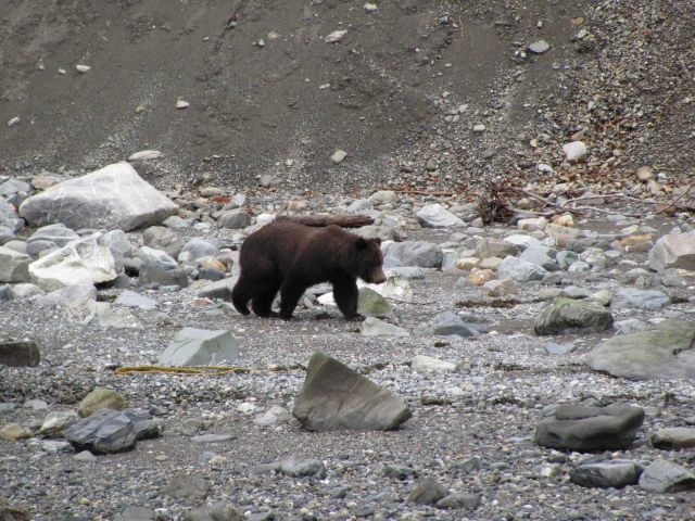 Brown bear at water's edge. Picture