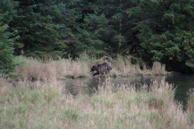 Brown bear on the shore. Picture