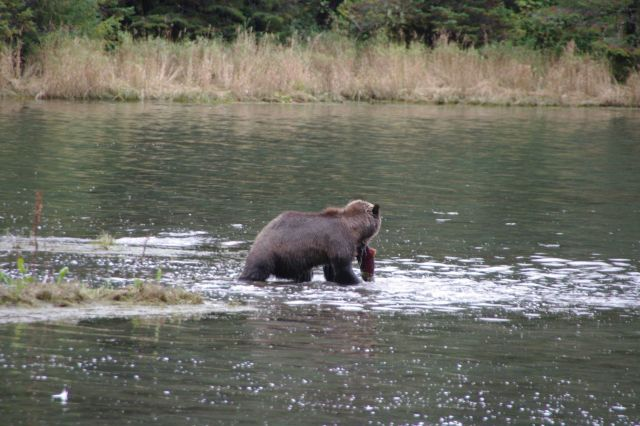 Brown bear fishing. Picture