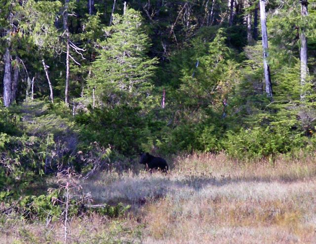 Black bear in the bushes. Picture
