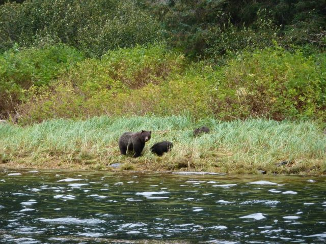 Mother black bear and cub strolling on the shore. Picture