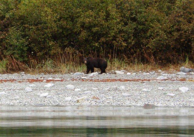 Black bear strolling along the shore checking out the survey launch. Picture