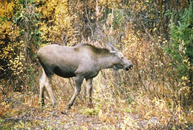 Moose. Picture