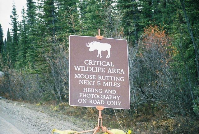 Rutting moose can be dangerous both for hikers and if in collision with automobile. Picture