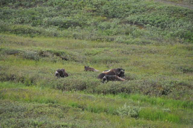 Musk ox. Picture