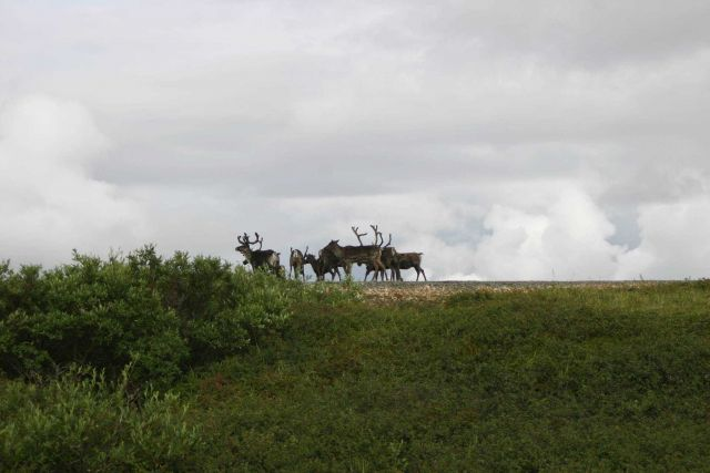 Probably domestic reindeer. Picture