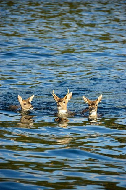 Deer out for a swim. Picture