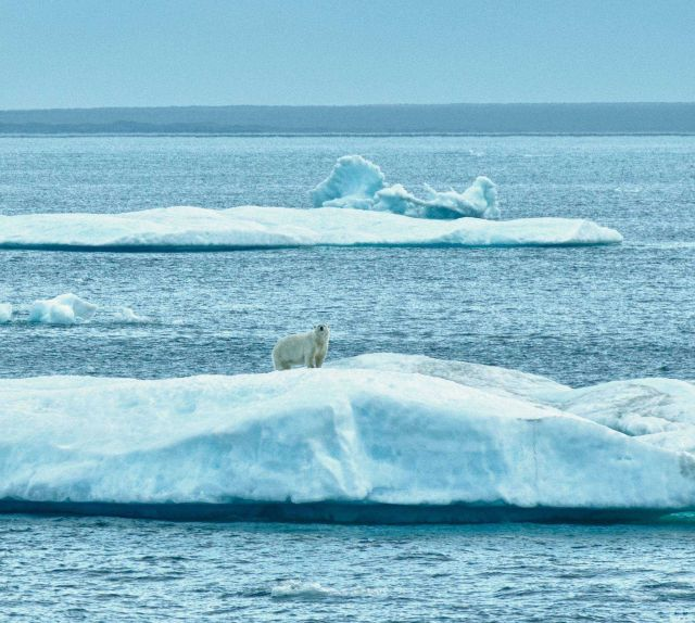 Polar bear on ice floe. Picture