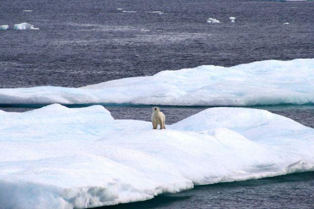 Polar bear on ice floe. Picture