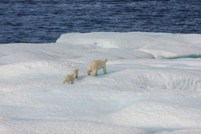Polar bear and two cubs on ice floe. Picture