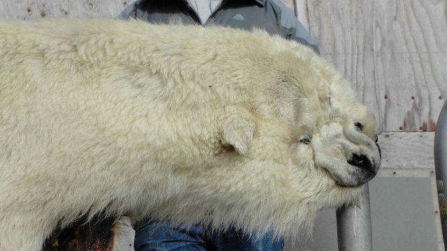 Polar bear rug. Picture