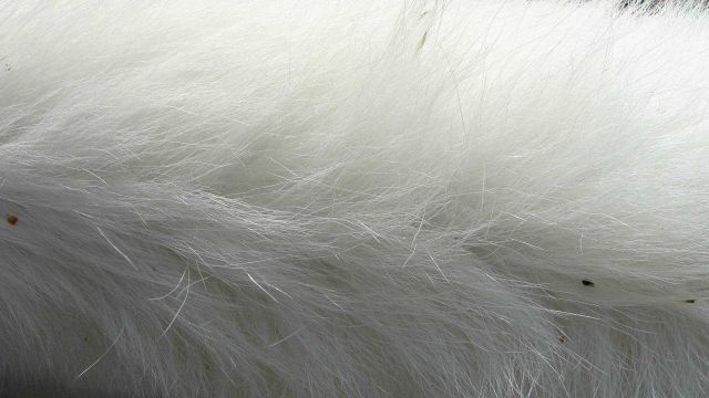 Polar bear hair is pigment free and transparent with a hollow core that scatters and reflects visible light, giving the white appearance. Picture