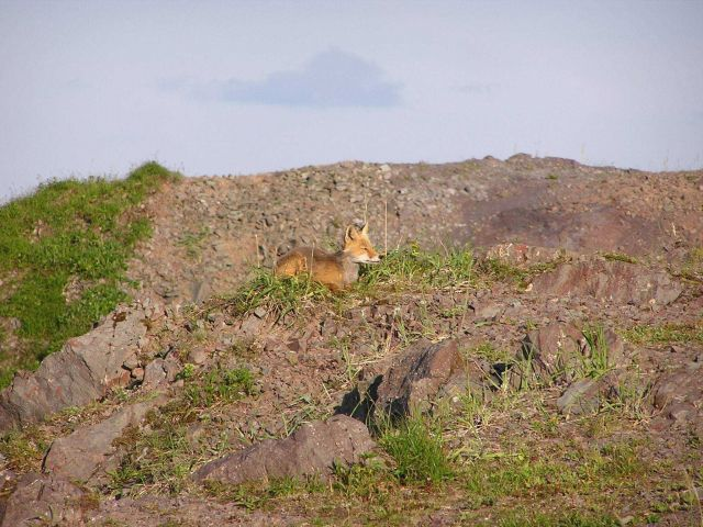 Red fox. Picture