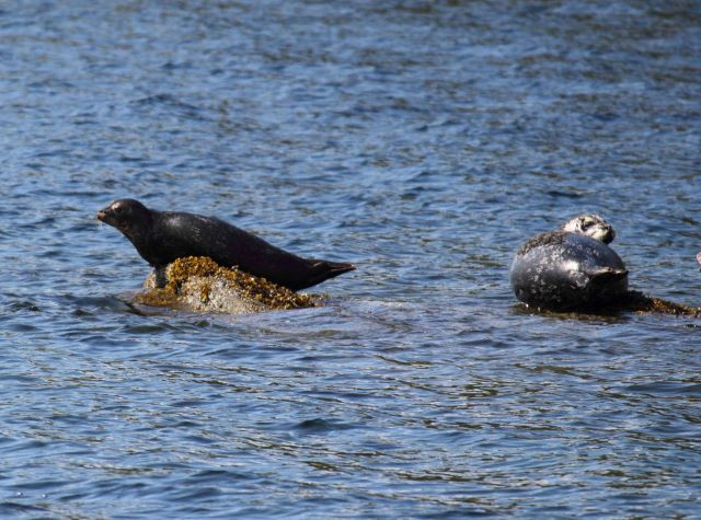 Harbor seals Picture