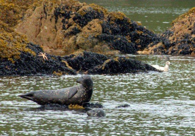 Harbor seals Picture