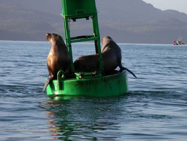 Sea lions. Picture