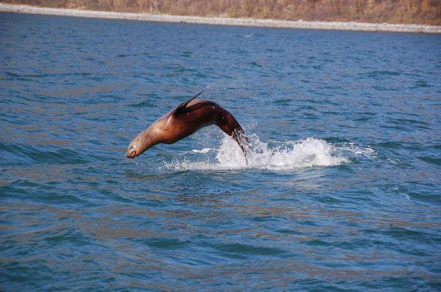 Sea lion cavorting? escaping from predator? Picture