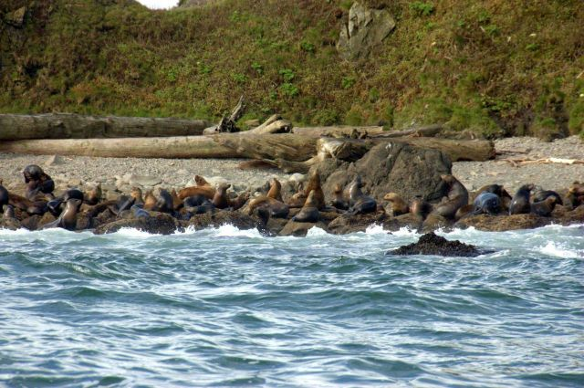 Steller sea lions. Picture