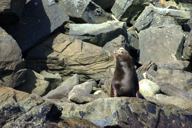 Northern fur seal. Picture