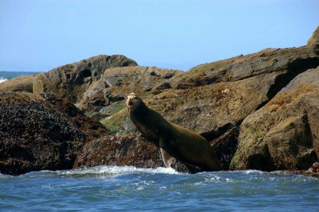 Steller sea lion. Picture
