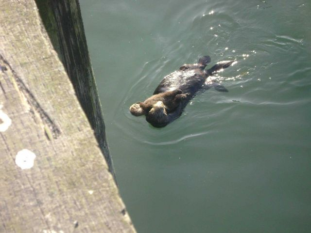 Sea otter mother and baby. Picture