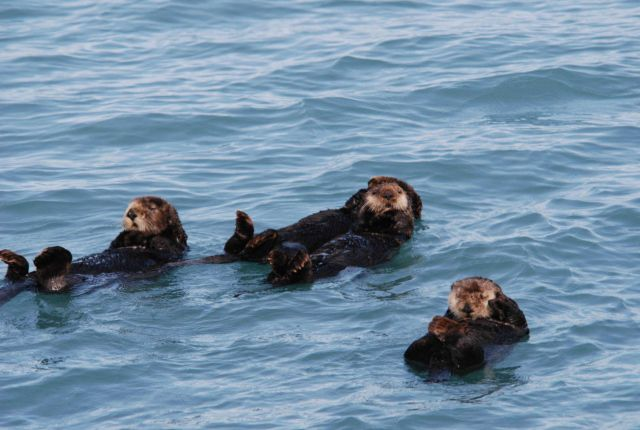 Sea otters. Picture