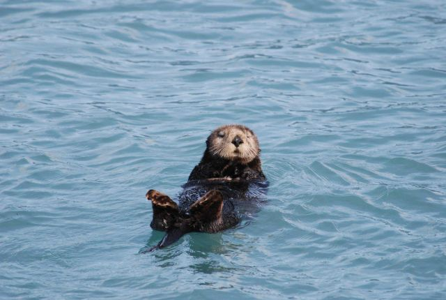 Sea otter. Picture