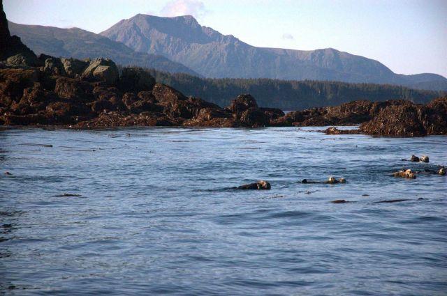 Sea otter. Picture