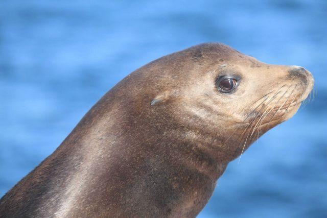 Head shot of Steller sea lion Picture
