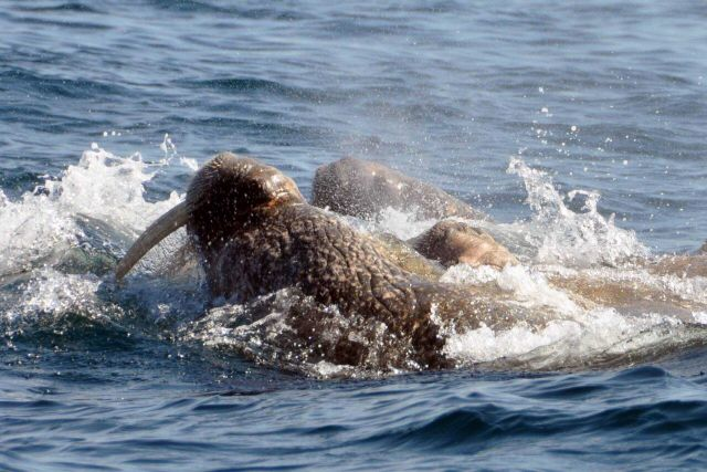 Walruses. Picture