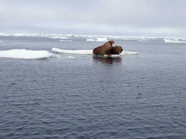 Walruses on an ice floe. Picture