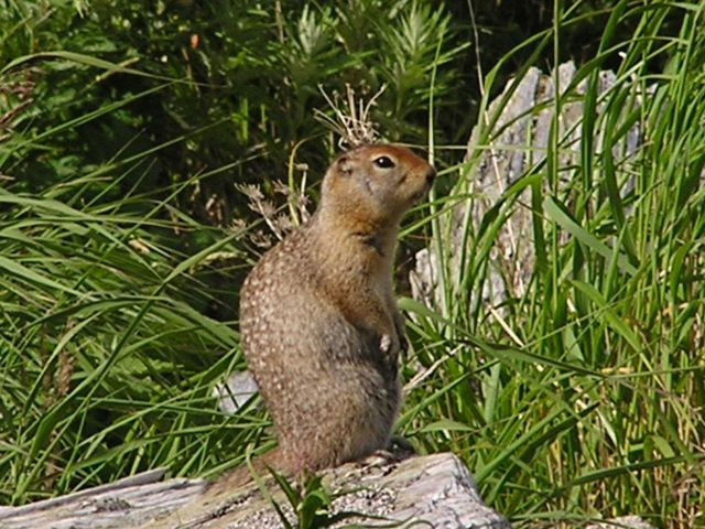 Ground squirrel. Picture
