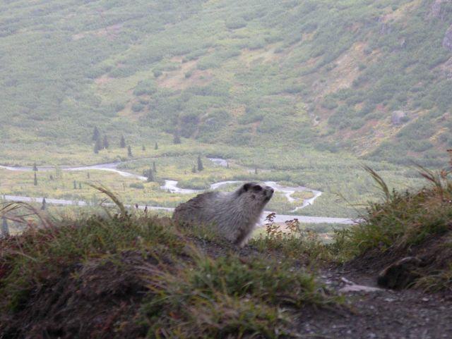 Marmot. Picture