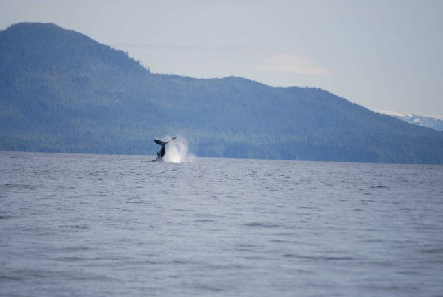 Whale breaching. Picture