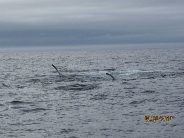 Humpback whale Picture