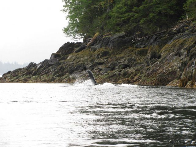 Humpback whale in close proximity to shore. Picture