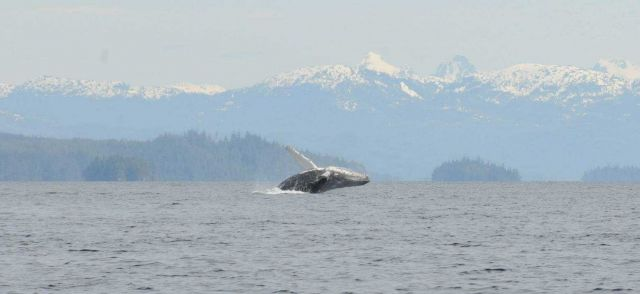 Humpback whale breaching. Picture