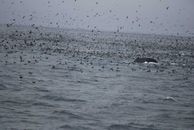 Whale in the midst of a grand profusion of sea birds. Picture