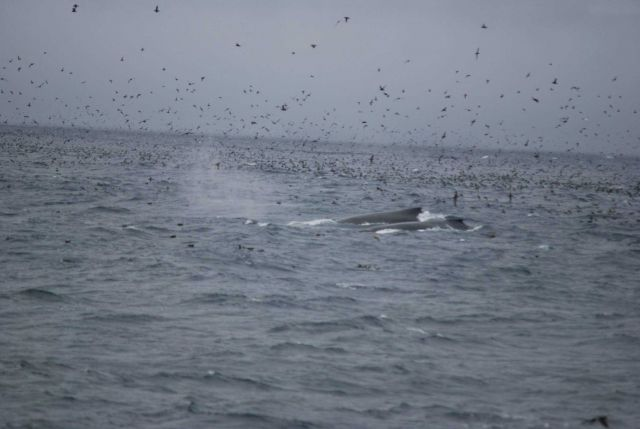 Two whales in the midst of a grand profusion of sea birds. Picture