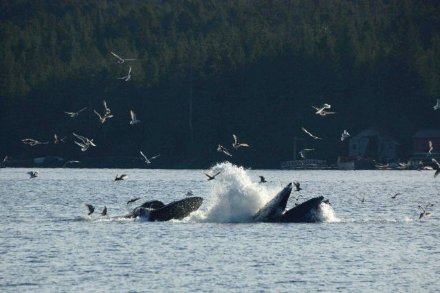 Humpback whales lunge feeding. Picture